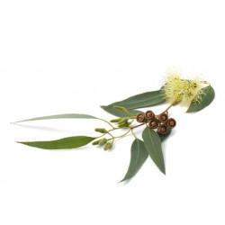 Arôme Eucalyptus