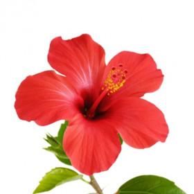 Arôme Hibiscus