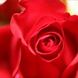 Tabac à la rose